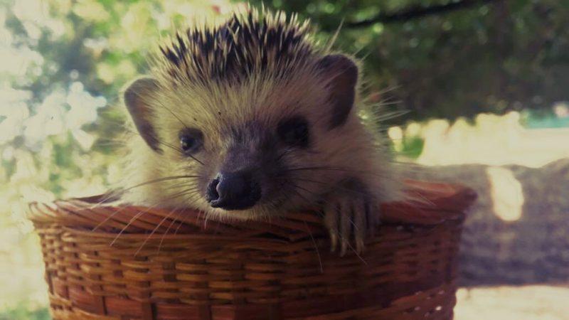 erizo+visita+jardin+hedgehog+Igel+besuch